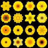 在黑色隔绝的各种各样的黄色样式花的大收藏 免版税图库摄影