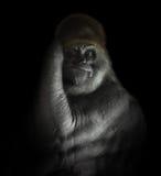 在黑色隔绝的强有力的大猩猩哺乳动物 库存照片