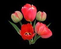 在黑色隔绝的束红色郁金香花 免版税图库摄影