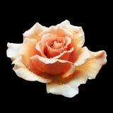 在黑色隔绝的桔子玫瑰 免版税库存图片