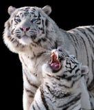 在黑色隔绝的白色老虎豹属底格里斯河bengalensis 库存照片