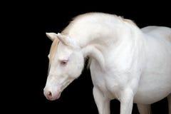 在黑色隔绝的白马,威尔士小马 免版税图库摄影