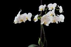 在黑色隔绝的美丽的白色兰花植物兰花 免版税库存图片