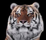 在黑色隔绝的老虎顶头特写镜头 库存图片