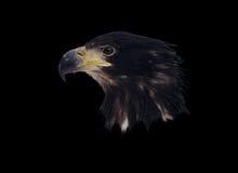 在黑色隔绝的老鹰顶头画象 免版税库存图片