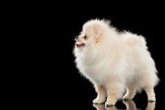 在黑色隔绝的蓬松逗人喜爱的白色Pomeranian波美丝毛狗狗身分 免版税库存照片