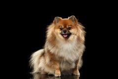 在黑色隔绝的蓬松逗人喜爱的红色Pomeranian波美丝毛狗狗开会 图库摄影