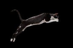 在黑色隔绝的跳跃的康沃尔雷克斯猫 免版税库存照片