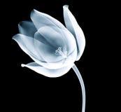 在黑色隔绝的郁金香花的X-射线图象 免版税图库摄影