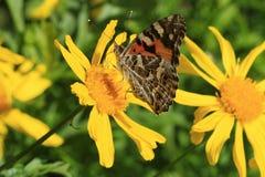 在黄色雏菊的布朗蝴蝶 库存图片
