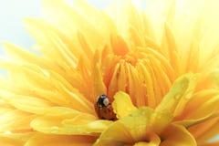 在黄色雏菊的瓢虫 免版税图库摄影