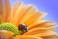 在黄色雏菊的瓢虫 免版税库存图片