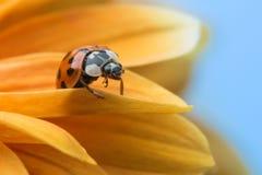 在黄色雏菊的瓢虫 免版税库存照片