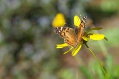 在黄色雏菊的被绘的夫人蝴蝶 免版税库存照片