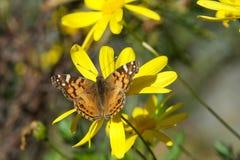 在黄色雏菊的被绘的夫人蝴蝶 库存图片