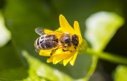 在黄色雏菊花,宏指令的蜂 库存图片