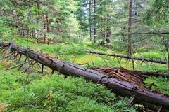 在绿色青苔中的死的树在森林里 免版税库存图片