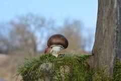 在绿色青苔的一个小棕色蘑菇蘑菇伞菌科在自然 库存照片