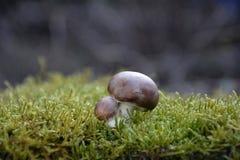 在绿色青苔的一个小的棕色蘑菇蘑菇伞菌科 免版税库存照片