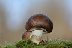 在绿色青苔的一个棕色蘑菇蘑菇伞菌科 库存图片