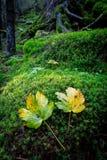 在绿色青苔的两片autum叶子 图库摄影