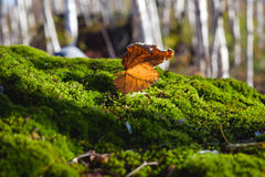 在绿色青苔的干燥桦树叶子 免版税库存图片