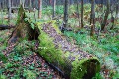 在绿色青苔的老下落的树桩在森林里 库存照片