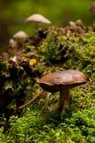 在绿色青苔的老牛肝菌蕈类 免版税库存照片