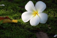 在绿色青苔的赤素馨花。 库存图片
