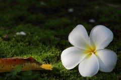 在绿色青苔的赤素馨花。 免版税库存照片