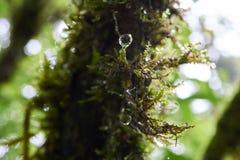 在绿色青苔盖的树用露水 免版税库存照片