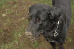 在绿色领域的乌鸦罗马尼亚shepard狗与地面的肮脏的鼻子 库存照片