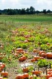 在绿色领域的各种各样的南瓜在秋天期间 图库摄影