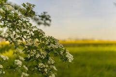 在黄色领域的开花的树 免版税库存照片
