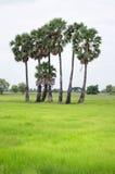 在绿色领域的棕榈树 免版税图库摄影