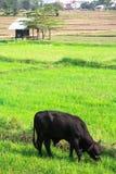 在绿色领域的母牛 免版税库存照片