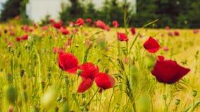 在绿色领域的红色鸦片用麦子 免版税图库摄影