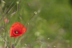 在绿色领域的红色poppie 免版税库存照片