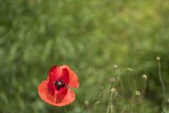在绿色领域的红色poppie 库存图片