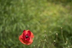 在绿色领域的红色poppie 免版税库存图片