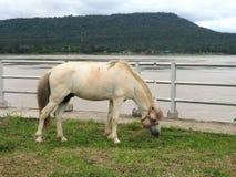 在绿色领域的马在Khong河岸 库存图片