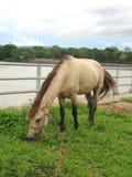 在绿色领域的马在Khong河岸 图库摄影