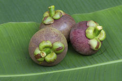 在绿色香蕉叶子的山竹果树 库存图片