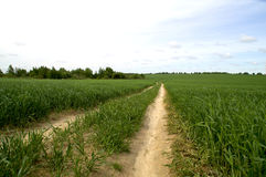 在绿色麦子庄稼的领域路 库存照片