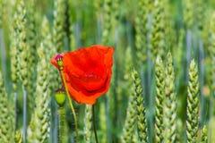 在绿色麦子的红色鸦片 免版税图库摄影