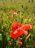 在绿色麦子的领域的红色鸦片花 免版税库存照片