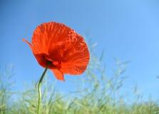 在绿色麦子的领域的红色鸦片花 图库摄影