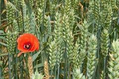 在绿色麦子耳朵中的红色鸦片花 库存图片