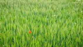 在绿色麦田的偏僻的红色possy花 库存照片