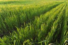 在绿色麦田的行在日落 免版税库存照片